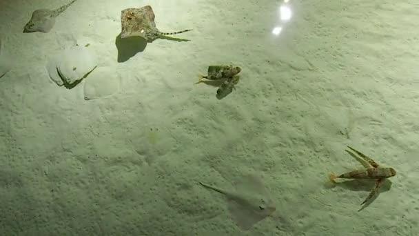 Augusztus 2018. Manta ray, Elektromosrája-alakúak és repülő morgóhal belsejében egy tank. Vagyunk, a város akváriuma, a turizmus nagyon fontos helyet benne. Augusztus 2018-Genova