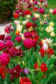 Színes virágágyások az áprilisi isztambuli tulipánfesztiválon
