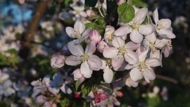 The video is the blossom of white flowers of the apple in the spring.