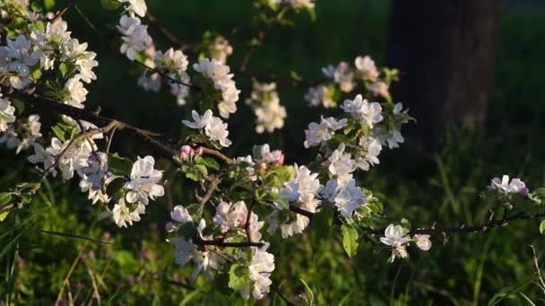 A video a fehér virágok az alma virága a tavasz.