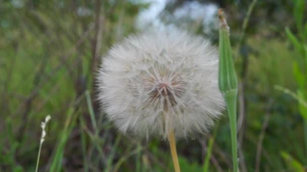 Skvělá Pampeliška jsou nadýchané. Černá semena a bílé chmýří