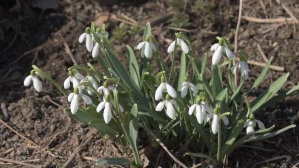 Spring time of year. blossom snowdrops.