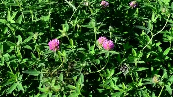 Čtyřlístek jetele. Kvete s červenými květy