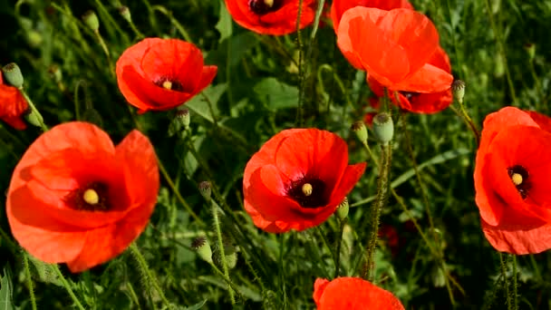 Red poppies bloom beautifully in summer.