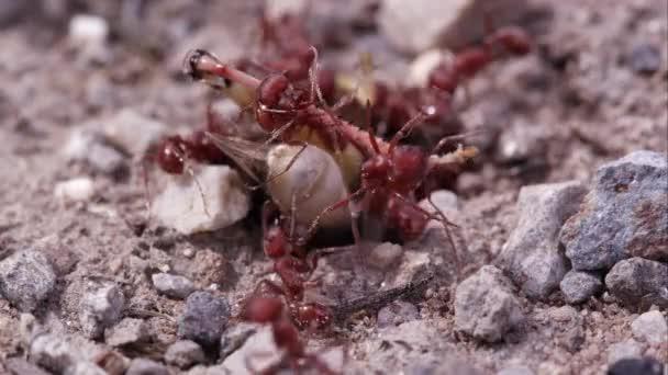 Roj mravenců ohně útočí kobylka