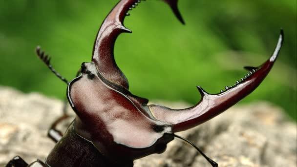 Makro szemcsésedik-ból egy elefánt szarvasbogár harapófogó.