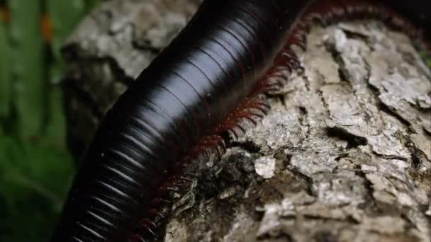 Makro szemcsésedik-ból egy óriás afrikai fekete százlábú csúszó-ra néhány kéreg.