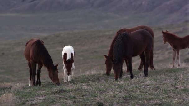 Divoké koně pasoucí se v časných ranních hodinách v Západní poušti v Utahu.