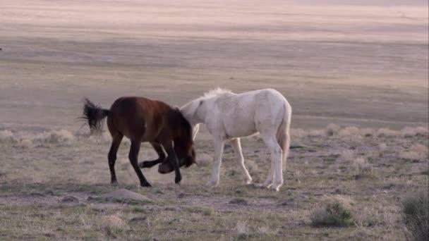 Dva divoké koně, hraje se každý snaží kousnout druhého zároveň klesá na kolena.