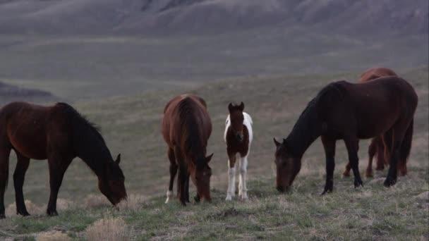 Pohled na divokého koně stádo pastvy s mladými pony.