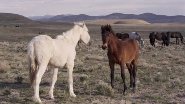 Dva divoké koně stáli tváří v tvář a navzájem dotýkají s nosem.