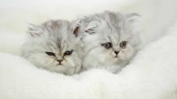 Dvě roztomilé koťátkách, ležící na bílou deku pod studio světla.