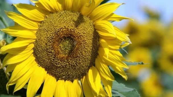 Pohled na slunečnicový vane lite vánek za slunečného dne