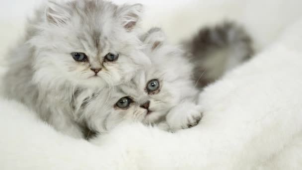 Two cute fluffy kittens lying on white blanket under studio lighting.