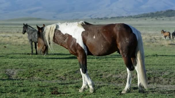 View of wild Paint horse slowly grazing in grass.