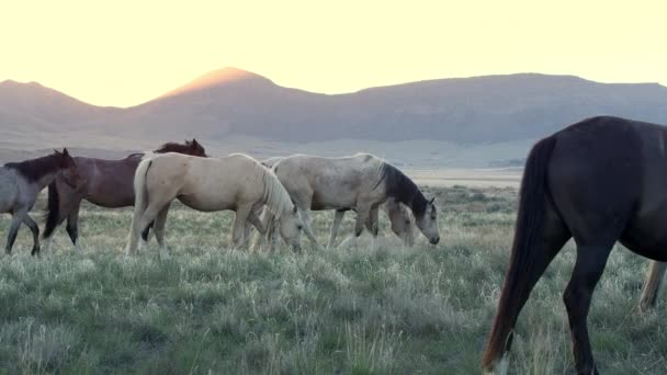 Wild horse herd walking through field as the sun is about to rise as a ray shoots over the mountain.