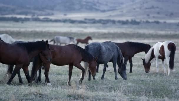 Divocí koně pasoucí se v pomalém pohybu za svítání v poušti v Utahu.