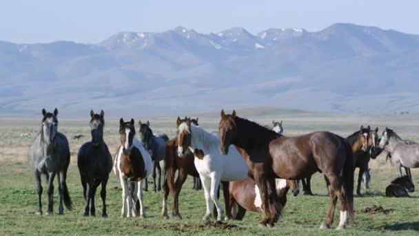 Csoport-a lovak állandó festék sétál, és rázza a fejét.