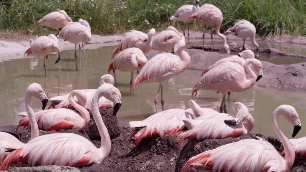 Flamingos kolem malého rybníka na slunci, kde někteří sedí na hnízdech.
