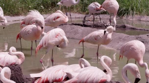 Flamingos stojící ve vodě rozkvetlý v malém rybníku.
