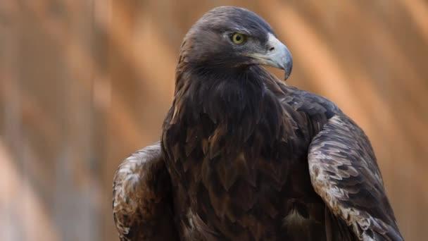 Steinadler schaut sich um, während seine Flügel tief hängen.