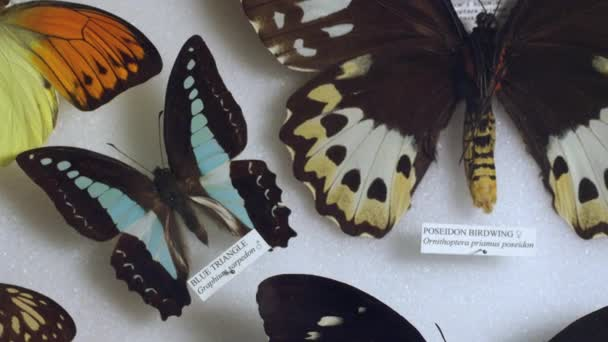 Collection of beautiful butterflies in zoological museum