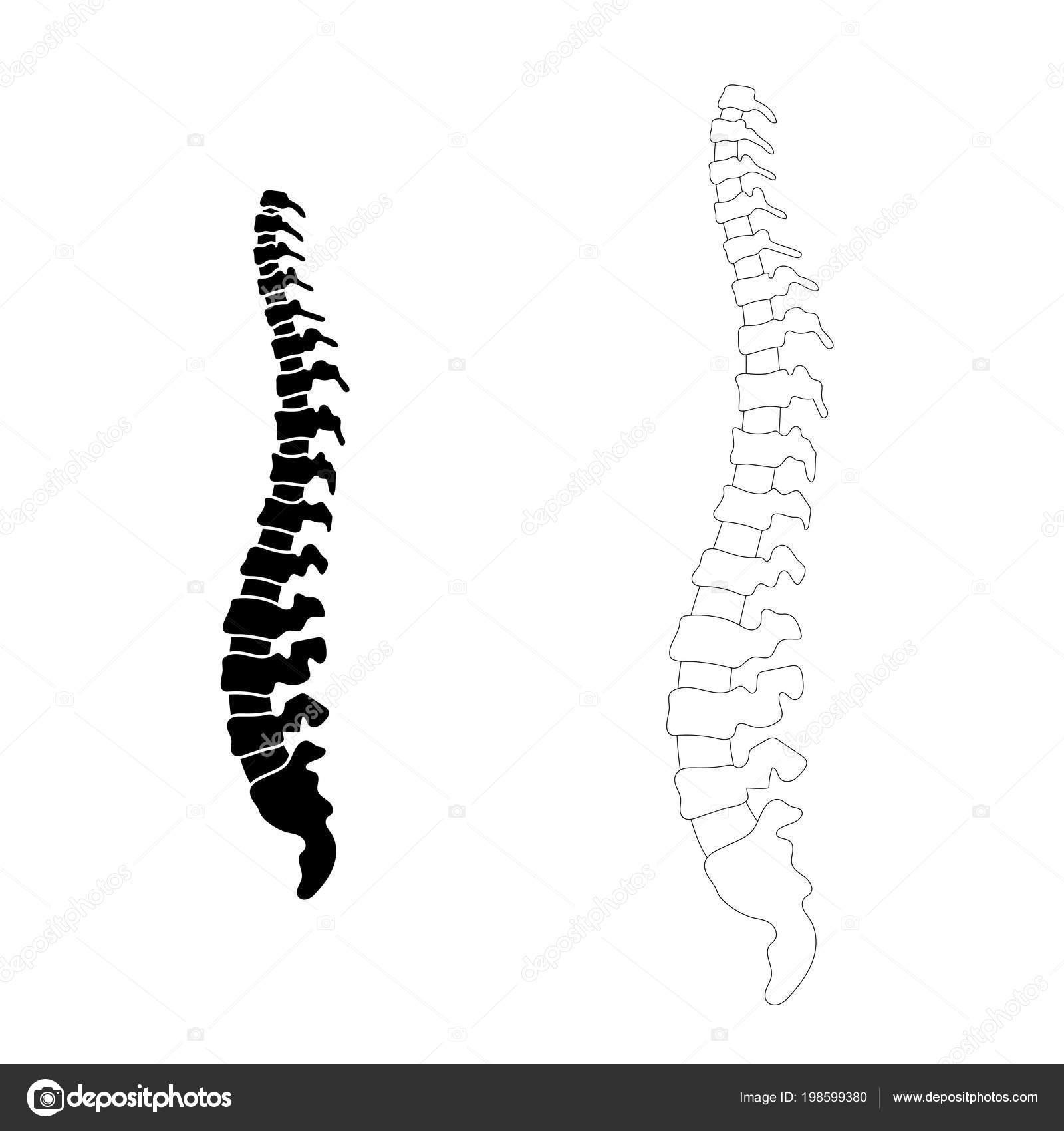 Ilustración de vector columna vertebral humana — Archivo Imágenes ...