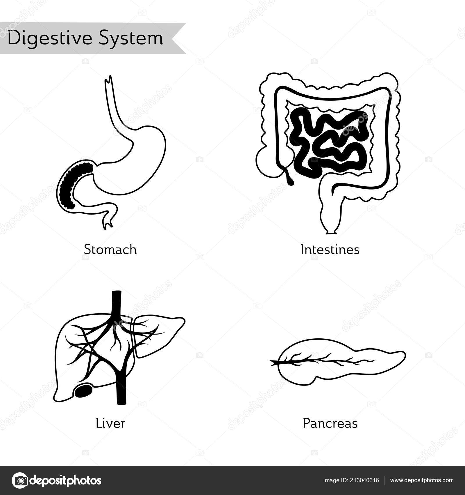 Vector Illustration Of Human Digestive System Stock Vector