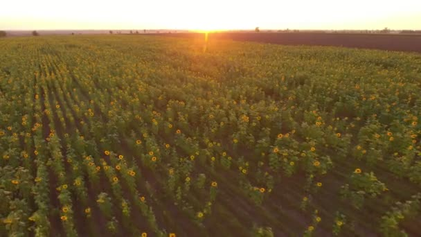 Aerial shot of a splendid sunflower field waving under wind bursts at sunset                                 An amazing bird`s eye view of a boundless sunflower field and a narrow forest stripe under the sparkling beams at a nice sunset in summer.