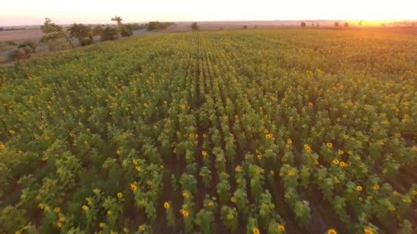 Letecký snímek slunečnicová pole s kvetoucí květiny při západu slunce v létě působivé ptačí pohled slunečnicová pole zelené a žluté květy, rostoucí v řádcích na bděl pole při západu slunce v létě