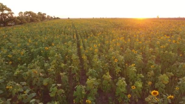 Légi felvétel a napraforgó mező friss virágok a csodálatos naplemente a nyári időszakban egy giccses madártávlatból a napraforgó rét növekvő alatt a szikrázó napsugarak sorokba napnyugtakor a nyári zöld és sárga virágok