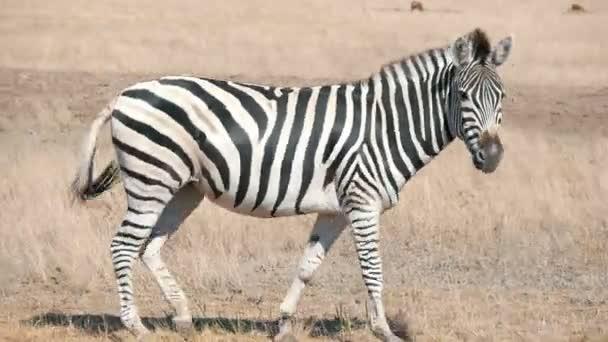Megy a határtalan Askania Nova sztyepp nyári idilli oldalnézetből egy felnőtt csíkos zebra horizonless Taurida sztyeppek Askania Nova bio-tartalék a nyári napsütésben sétál a nagy afrikai zebra. Az ég úgy néz ki, finom