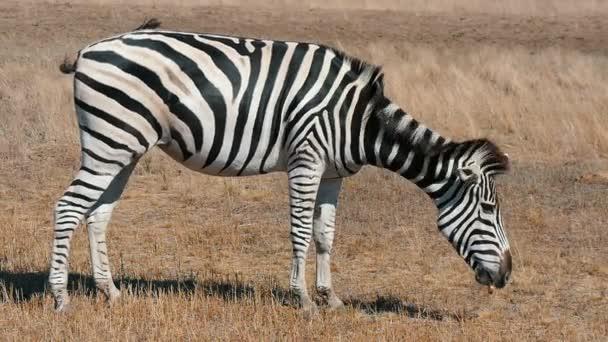 Pro dospělé pruhovaná zebra pastviny rezavé trávy v Askania Nova pole v létě Funny profilu zobrazení velké pruhovaná Zebra slámy jídlo v bděl Taurida stepi v Askania Nova bio rezervy na slunečný den v létě