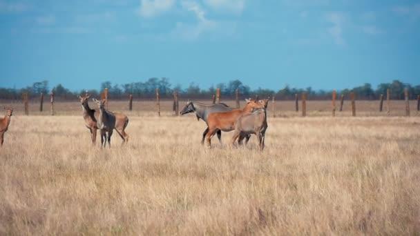 A legeltetett fű Askania Nova horizonless pusztai egzotikus profilja barna és fekete antilop szalmát eszik, és megy végig Taurida pusztai megőrzése festői skyscape nyáron barna nilgauantelopes állomány