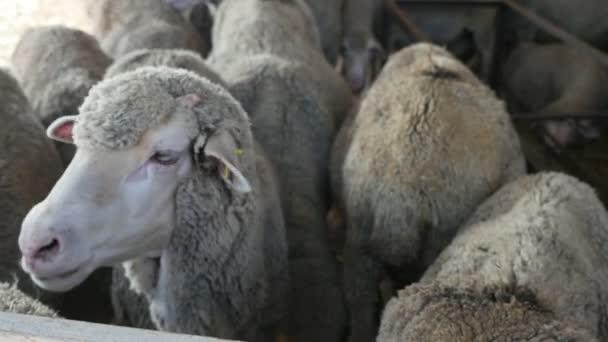 neugierige Mutterschaf dreht ihren Kopf nach rechts und links und blickt ihre Nachbarn in einem Schuppen lustigen Blick auf ein junges weißes Schaf drehen ihren Kopf in verschiedenen Seiten schaut auf den Rücken der benachbarten Schafe an einem sonnigen Tag im Sommer