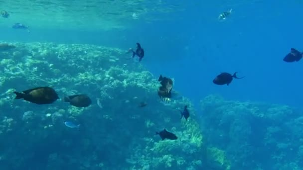 School of black middle-size fish swimming in the light blue waters in Egypt                                       Amazing underwater view of the black middle-size fishes swimming slowly over a tropical reef in clear blue waters in Egypt.