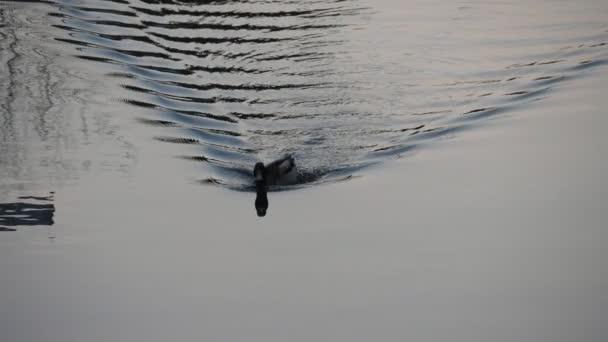 Mallard úszó egy tükör-szerű tó sima fekete és fehér víz slo-Mo Art fekete-fehér kilátás az aktív kacsa úszás a sima fekete-fehér felületen egy mesebeli erdei tó tavasszal.