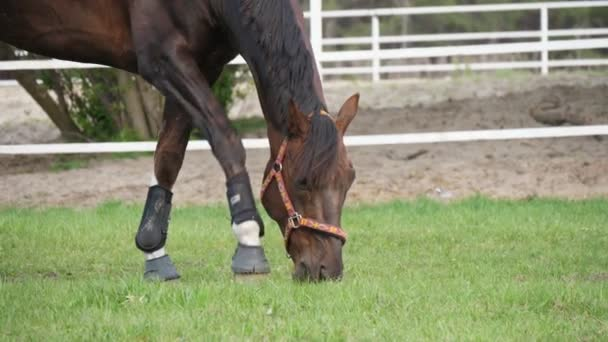 Brown mare with the bandage on legs grazing green grass in spring in slo-mo                                Amazing closeup of a brown horse, with black bandage on legs, and a leather bridle eating green grass in a tidy field in slo-mo