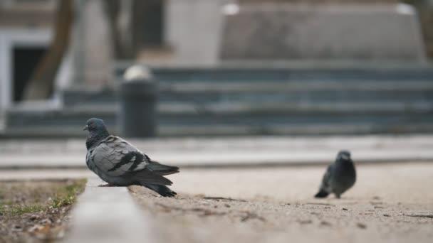 Gruppe netter Tauben, die auf einen Platz gehen und plötzlich im Frühling losfliegen, in slo-mo aufregender Aussicht auf eine Schar von Straßentauben, die auf einem Platz stehen, Samen suchen und an einem sonnigen Frühlingstag in Zeitlupe davonfliegen