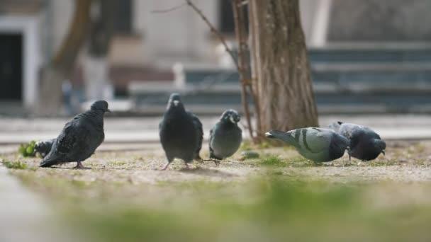 Ein Schwarm Tauben steht, putzt seine Feder und fliegt in einem Park in slo-mo wunderbare Aussicht auf mehrere graue Tauben stehen, suchen Samen, Federn putzen und fliegen in einem Park im Frühling in Zeitlupe