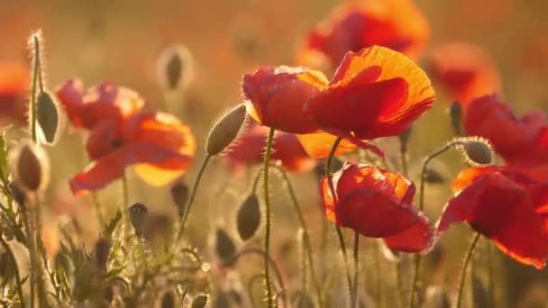 Červené a žluté máky rostou v nádherné oblasti na Ukrajině ve dne úžasný pohled na červené a žluté květy kvetou v pohádkové oblasti na Ukrajině za slunečného dne v létě. Vypadají inspirující a emocionální.