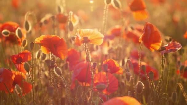 Červené a růžové máky kvetou v nádherné louce na Ukrajině ve dne úžasný pohled na červené a růžové máky pokrývající báječné pole na Ukrajině za slunečného dne v létě. Vypadají vesele a romanticky.