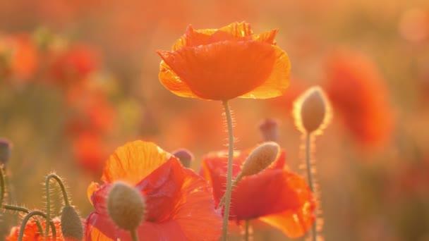 Šarlatové máky, které v létě ve dne na Ukrajině mávali v nevodorovných polích, nádherný pohled na Rudé květy, které v létě rostou na Ukrajině na nebezmezném poli. Vypadají krásně a hezky.