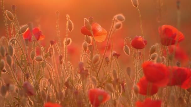 V malebném zapadajícím slunci, které rostou v nevodorovných polích na Ukrajině, se na zlatém slunci s nádherným výhledem na červenou popu na Ukrajině zčervenalo. Vypadají nádherně a romanticky.