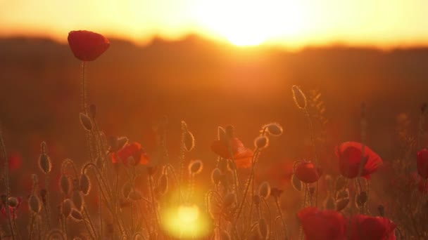 Inspiring red poppies waving in a large field in Ukraine at shining sunset                                 Wonderful view of red poppies fluttering in a large meadow in Ukraine at golden sunset. They look incredible and fine.