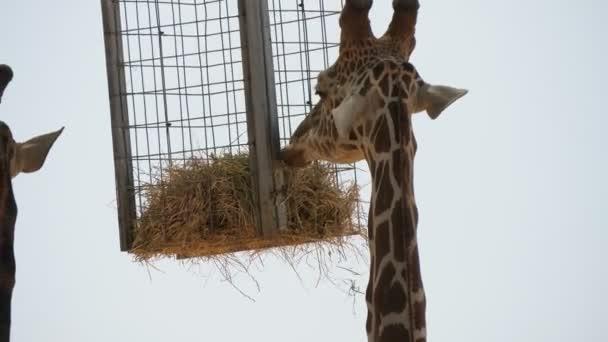 Jedna žirafa pojídající se pod slunečním stínem s korytem od sena pod ním Nádherné detailní záběry mladé skvrnité žirafy s dlouhým krkem stojící pod slunečním stínem, pod nímž v letním slunném dni v zoologické zahradě visí koryto od sena..