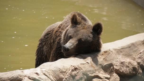 Nagy barna medve állandó és dörzsölés a szájkosár egy tó partján állatkert nyáron lenyűgöző kilátás egy nagy barnamedve állva egy fatörzs-ra egy medence strand és dörzsölés a fejét, és élvezi napos időjárás nyáron. Úgy néz ki, vidám és boldog