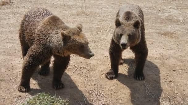 Zwei Braunbären spielen und küssen sich an einem sommerlichen Sandstrand am Teichufer. Schöne Aussicht auf zwei große Braunbären, die an einem sonnigen Tag im Sommer stehen, spielen und sich küssen. Es sieht fröhlich und spannend aus.