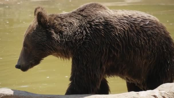 Velký hnědý medvěd se v létě v pomalém pohybu dostává ze špinavého rybníku, což je pohled na velkého hnědého medvěda, který se dostává z tmavě zelených vod v zoo za slunného dne v létě v pomalém pohybu. vypadá promočený, zdravý a veselý.
