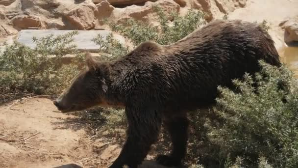 Large brown bear goes among rocks and bushes on a sunny day in summer in slo-mo       Impressive view of a big brown bear going among big stones, bushes and rocks on a sunny day in summer in slow motion. It looks wet, so a river is nearby.